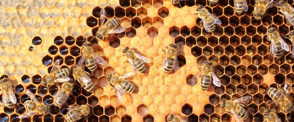 Mamfaat Royal Jelly: Makanan sang Ratu Lebah